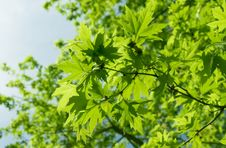 Free Green Leaves Royalty Free Stock Photos - 14529068