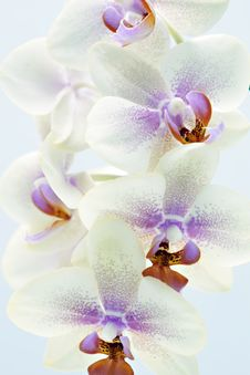 Free Colorful Orchid Royalty Free Stock Image - 14529396