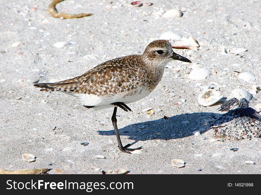 Plover Shorebird