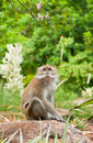 Free Macaque In The Wild Stock Image - 14530511