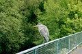 Free Heron On Fence Stock Photos - 14533203