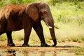 Free Walking Elephant Royalty Free Stock Photos - 14536838