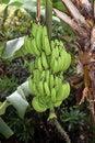 Free Bunch Of Bananas Stock Photo - 14539130