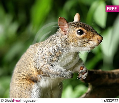Free Grey Squirrel Stock Photography - 14530922