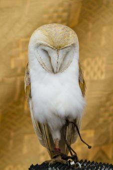 Free Owl Portrait Royalty Free Stock Photos - 14530128