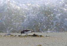 Free Shore Bird Stock Image - 14530241
