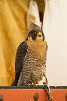 Peregrine, Falcon Royalty Free Stock Photo