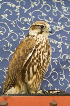 Peregrine, Falcon Royalty Free Stock Image