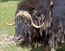 Free Musk-ox 7 Royalty Free Stock Photo - 14530855