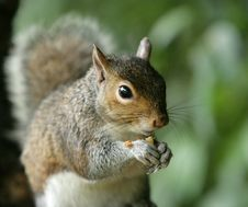 Free Grey Squirrel Royalty Free Stock Images - 14530969