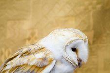Free Owl Portrait Royalty Free Stock Photos - 14531398