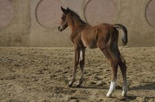 Free Arabian Colt Royalty Free Stock Photography - 14531507