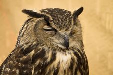 Free Owl Portrait Stock Photos - 14531543