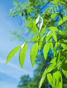 Free Leafs Of Tree Royalty Free Stock Photos - 14531748