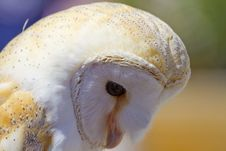 Free Owl Portrait Royalty Free Stock Photography - 14532177