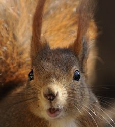 Free Red Squirrel ( Sciurus Vulgaris ) Royalty Free Stock Photo - 14532445