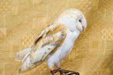 Free Owl Portrait Stock Image - 14533031