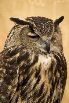 Free Owl Portrait Stock Photography - 14533132