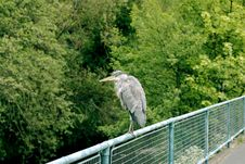 Free Heron On Fence Stock Photos - 14533203