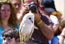 Free Screech Owl Royalty Free Stock Images - 14533339