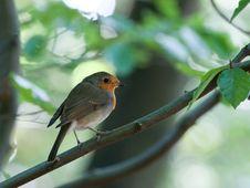 Free Robin Stock Photography - 14533522