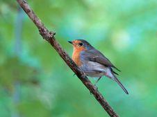 Free Robin Stock Photo - 14533530
