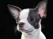 Free White With Black Chihuahua Puppy Portrait On Black Stock Photo - 14533700