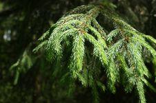 Free Fir Forest Stock Photos - 14534113
