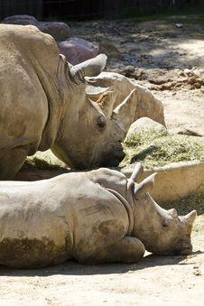 White Rhino (Ceratotherium Simum) Royalty Free Stock Photography