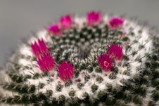 Mammilaria Cactus Flowers Stock Photo