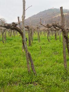 Winter Vines Stock Image