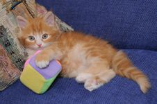 Free Mixed-breed Fluffy Kitten Plays With A Toy Stock Photos - 14535693