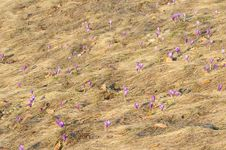 Free A Lot Of Crocus Flowers Royalty Free Stock Photography - 14535817