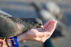 Free Pigeon Is Eating Crumbs From Woman S Hand Stock Images - 14535844