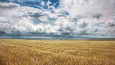 Free Field Of Yellow Wheat Stock Image - 14535851