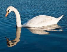 Swan With Reflections On A Clear Blue Lake Royalty Free Stock Photos