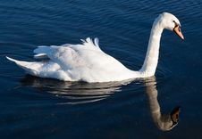 Swan With Reflections On A Clear Blue Lake Royalty Free Stock Image
