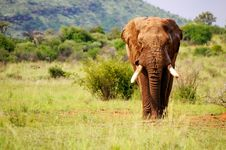 Free Walking Elephant Stock Image - 14536741