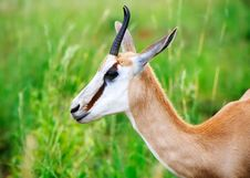 Free Close View Of Springbok Stock Images - 14536794