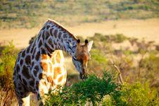 Giraffe Feeding On Acacia Bush Stock Photography
