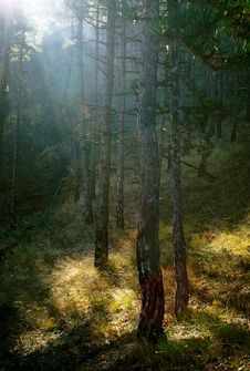 Sunlight In The Forest. Stock Images