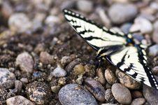 Free Canadian Tiger Swallowtail Royalty Free Stock Photo - 14536955