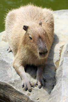 Free Capybara Stock Photo - 14537760