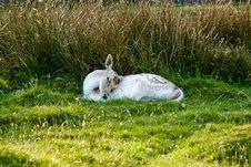 Sleeping Deer Stock Photography