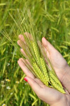 Free Woman Holding Fresh Green Wheat Stock Images - 14539844