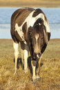 Free Brown And White Horses Stock Photos - 14544893