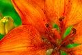Free Orange Asian Lily Stock Photo - 14546460