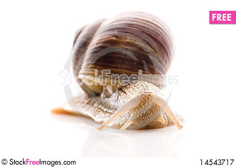 Free Snail. Royalty Free Stock Photography - 14543717