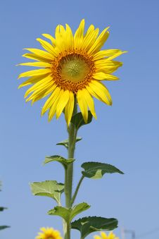 Free Sunflower Royalty Free Stock Photography - 14540537