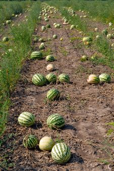 Free Ripe Water-melons Stock Image - 14543351